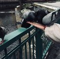 Pigeons peck feed with hands Royalty Free Stock Photo