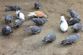 Pigeons pecking grain urban on the ground Royalty Free Stock Images