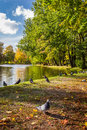 Pigeons on the river in autumn park Royalty Free Stock Image