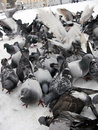 Pigeons in snow Stock Photo