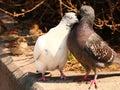 Pigeons snuggling