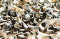 Pigeons waiting for feed from people feeding at street birds doves Stock Photo