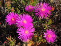 Pigface flower a pink purple called eastern with shiny petals and reddish green leaves grows in australia and is edible Stock Images