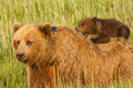 Piggy back ride infant alaskan coastal brown bear cub riding on mother Stock Images
