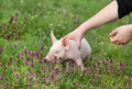 Piglet with blue eye girl holding on meadow Royalty Free Stock Image