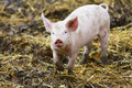 Piglet in the czech countryside Royalty Free Stock Photos