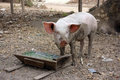 Piglet eating out of wooden trough Royalty Free Stock Photo