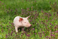 Piglet in flowers cute pink walking on grass spring time Stock Images
