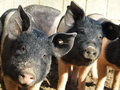 Piglet group of dirty outdoor piglets Royalty Free Stock Photo