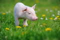 Piglet Royalty Free Stock Photo