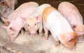 Piglets eating swill Royalty Free Stock Images