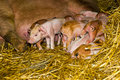 Piglets first hours of life Royalty Free Stock Photo