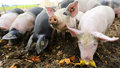 Piglets group of in the czech countryside Royalty Free Stock Photo
