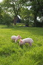 Piglets in Meadow Stock Images
