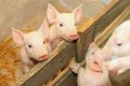 Piglets in pen Royalty Free Stock Photo