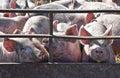 Piglets In Pig Pen