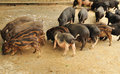 Pigs eating Royalty Free Stock Photography