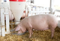Pigs eating from hog feeder Royalty Free Stock Photo