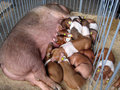 Pigs family in a stall at agrarian exhibition. Royalty Free Stock Photo