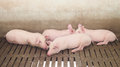 Pigs on the farm Royalty Free Stock Photo