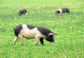 Pigs in the field three grazing basque country spain europe Stock Images