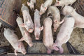Pigs group of in farm Stock Photography