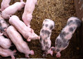 Pigs in a pigpen Stock Photos