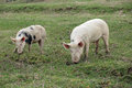 Pigs two young graze in green meadow Stock Images