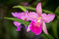 Pik and purple cahuzacra hanh sang orchid flower on dark backgro background selective focus horizontal Royalty Free Stock Photography