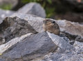 Pika little ochotona princeps sitting on the boulder in the grant tetons Stock Image