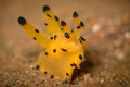 Pikachu nudibranch thecacera a or taken in bali indonesia Royalty Free Stock Images