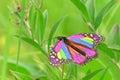 Piękny motyl monarchów Fotografia Royalty Free