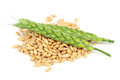 Pile of Barley Grains and Ears Isolated on White Background Royalty Free Stock Photo