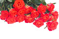 Pile of bright orange roses buds isolated on white background Stock Photography
