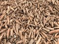 Pile of cassava or tapioca root for starch industry