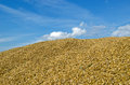 Pile ecological wheat grain corn harvest sky of natural cereal after on blue cloudy background Stock Photos