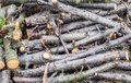 Pile of felled cherry branches fresh Royalty Free Stock Photo