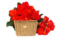 Pile of fresh orange roses with basket isolated on white background Royalty Free Stock Photo