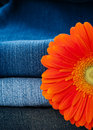 Pile of jeans of various shades and orange gerbera daisy Stock Images