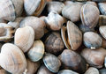 Pile of Manilla Clams Royalty Free Stock Photos