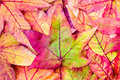 Pile of maple leaves in fall colors