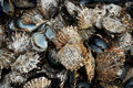 Pile of oyster shells at pearl farm, Vanua Levu island, Fiji Stock Photography