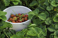 Pile with strawberries amidst strawberry bed harvest from ripe red during summer gives joy for people who like gardening after Royalty Free Stock Photography