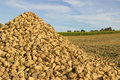 Pile of sugar beet a on a field Royalty Free Stock Photography