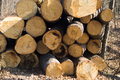 Pile of wood wooden natural fresh cutted logs Royalty Free Stock Image