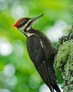 Pileated Woodpecker Royalty Free Stock Photo