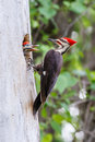 Pileated Woodpecker With Baby Royalty Free Stock Photo