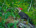 Great Smoky Mountain National Park Pileated Woodpecker in Cade's Cove Royalty Free Stock Photo