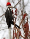 Pileated woodpecker(Dryocopus pileatus) male Stock Photography