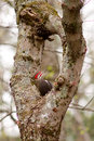 Pileated woodpecker dryocopus pileatus standing in and looking at a natural hole in a tree Stock Image